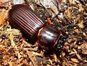 Beetle ID help - Odontotaenius disjunctus