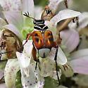 Coleoptera? on Monarda punctatum - Trigonopeltastes delta