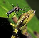 Ochlerotatus japonicus - female