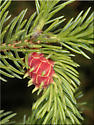 Red Adelges cooleyi Gall on White Spruce - Adelges cooleyi