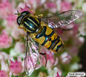 Unknown colorfull fly - Helophilus