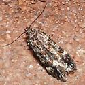 Moth 09.06.12 (8) - Glauce pectenalaeella