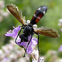 Cylindromyia red and black with white - Cylindromyia