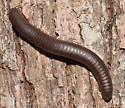 Narceus americanus annularis complex - Narceus americanus-annularis-complex