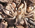 Crab Spider. ? - Olios giganteus