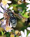 Data pt for late September in NB - Spilomyia fusca