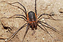 Maybe P. singularis? - Protolophus - male