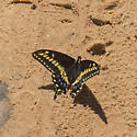 Which Swallowtail? - Papilio machaon
