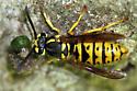 Predatory Insect - Vespula maculifrons