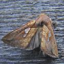 Plusia nichollae - Plusia putnami - female
