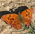 butterfly - Polygonia interrogationis
