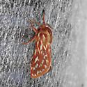 Lophocampa roseata