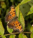 Butterfly - rust/ochre/brown with dark spots - Polygonia progne