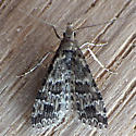 Montana Six-plume Moth (Alucita montana) - Alucita