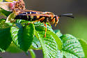 Wasp ? Species - Sphecius speciosus