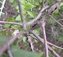 Ruptured Twig Gall Wasp? - Callirhytis perdens