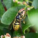 possibly Vespula pensylvanica? - Dolichovespula arenaria