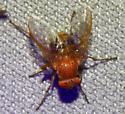 Fly - Ormia
