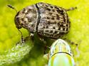 Beetle - Trigonorhinus