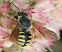 Cotton Bee - Anthidium oblongatum - female