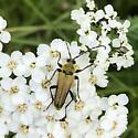 Flower Longhorn Beetle - Lepturobosca chrysocoma