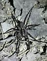 Carolina wolf spider - Gladicosa pulchra