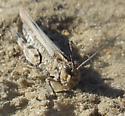 Mottled Sand Grasshopper? - Psinidia fenestralis - female