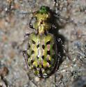 Delta Green Ground Beetle - Elaphrus viridis