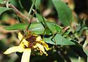 Mexican Bush Katydid - Scudderia mexicana - female
