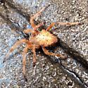 Golden spider with interestingly shaped abdomen - Araneus gemma