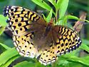 Great Spangled Fritillary - Speyeria cybele - Speyeria cybele - female