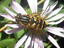 Another hover fly to verify. - Helophilus fasciatus - female