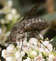 Picture-Winged Conophorus  - Conophorus fenestratus - female