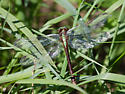 dragonfly - Ophiogomphus