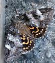 Erebidae - Euparthenos nubilis