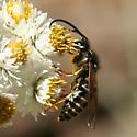 Parasitic Yellowjacket - Dolichovespula arctica - male