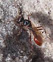 Red Ants - Pogonomyrmex badius - male