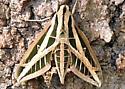 big moth - Eumorpha fasciatus