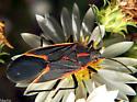 Boxelder Bug Nectaring - Boisea trivittata - female