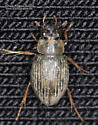 Coleoptera - Berosus