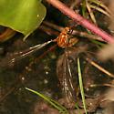 crane fly - Nephrotoma - female