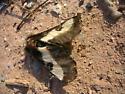 Dead Moth - Hemileuca maia