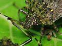 Stinkbug - Halyomorpha halys