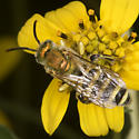 Unknown sweat bee - Agapostemon