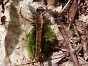 Dragonfly, NH, May - Ladona