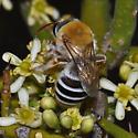 Colletidae - Caupolicana ocellata