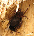 Spider inside its nest - Coras