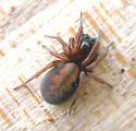 Amaurobiidae - Hacklemesh Weavers - Callobius bennetti