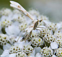 white and tan moth - Gillmeria pallidactyla