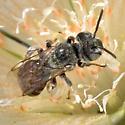 Unknown Desert Bee - Hesperapis - female